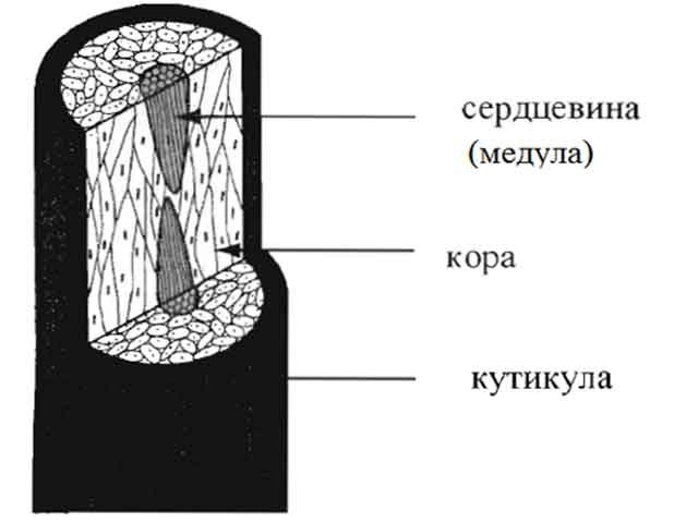 Строение волосяного стержня