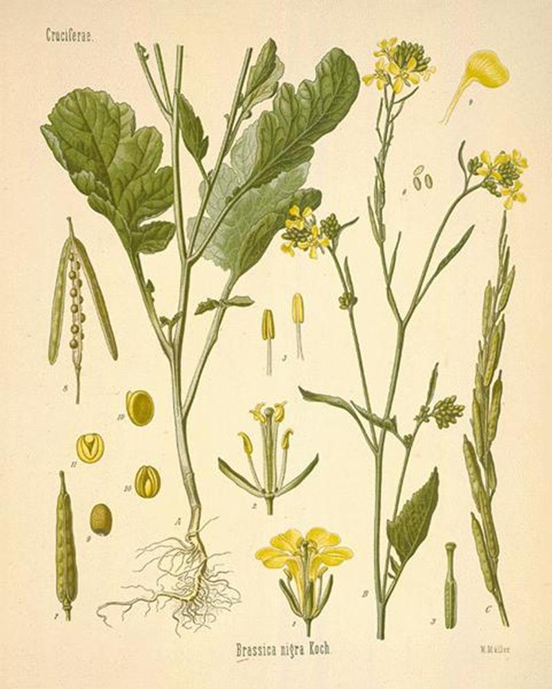 Так выглядит растение Горчица