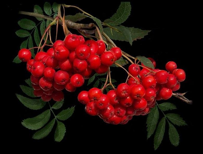 Кустарник с ягодами