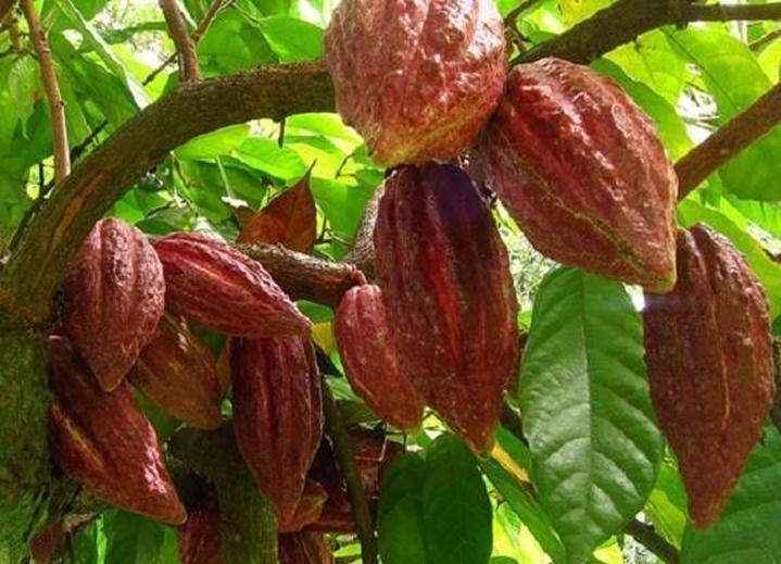 Миндалевидные семена шоколадного дерева