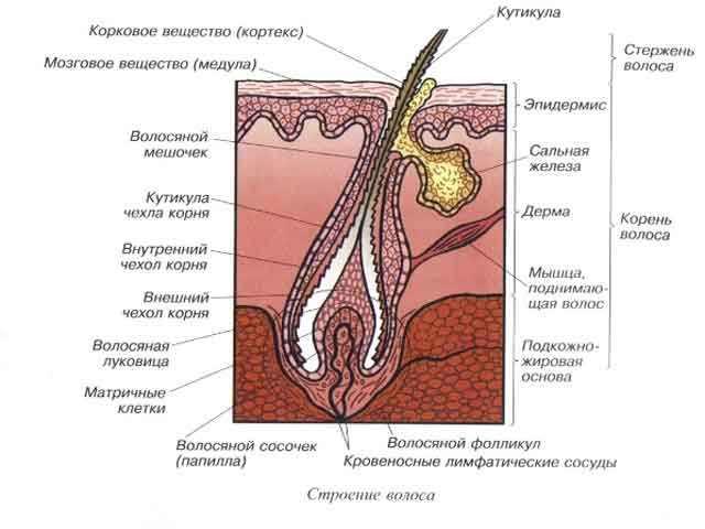 Кожа и волос под микроскопом