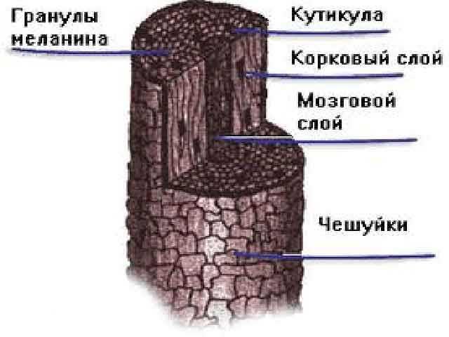 Локон под микроскопом